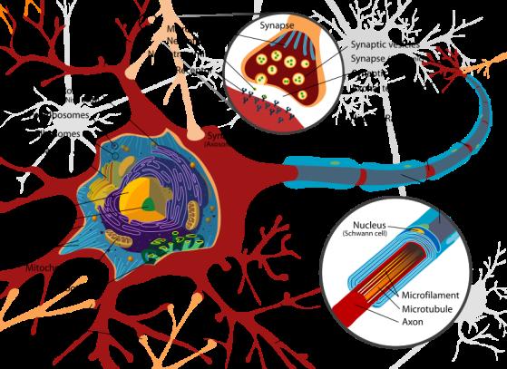 Complete_neuron_cell_diagram_en.svg